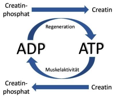 Die Rolle von Creatin Monohydrat im ATP-ADP Energiezyklus der Muskulatur